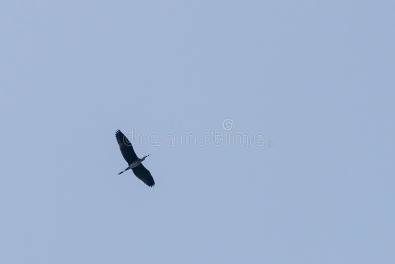 Grey Heron oder Ardea cinerea Einzelnes Grey Heron lokalisierte im Flug wieder einen einfachen Himmel stockfotos