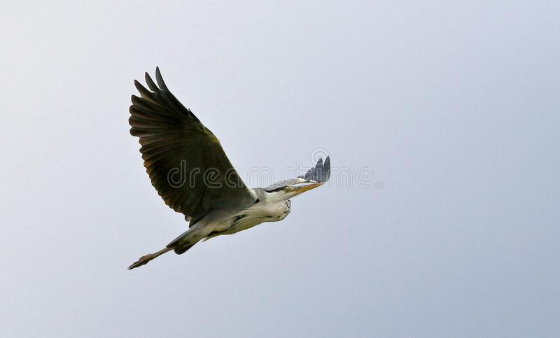 A grey heron with outspread wings, flying through the sky stock photography