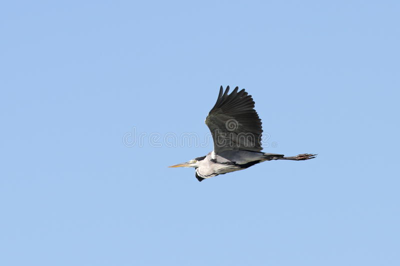 Grey heron over blue sky stock photography