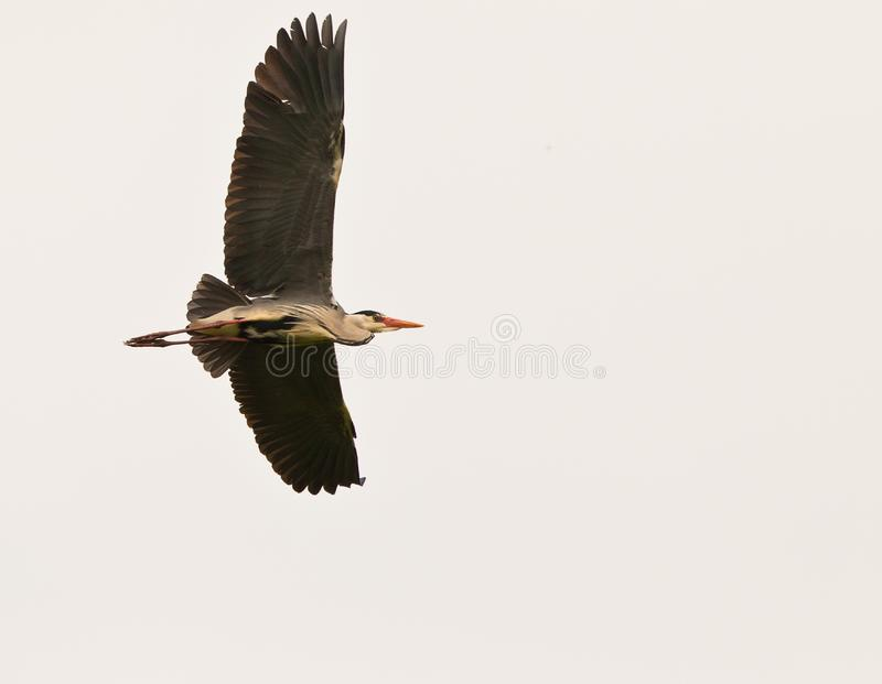 Grey Heron passing by royalty free stock image