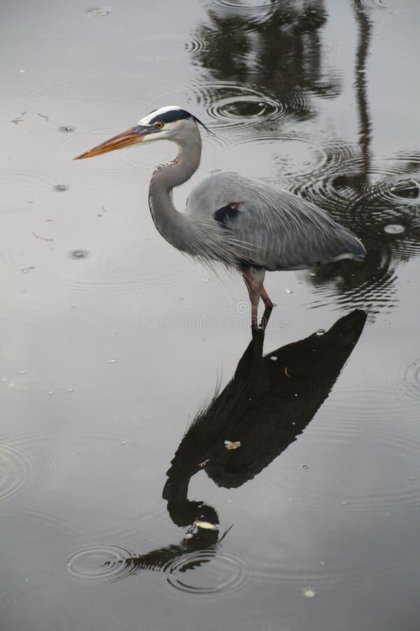 Grey Heron pescando em um lago da Flórida foto de stock royalty free
