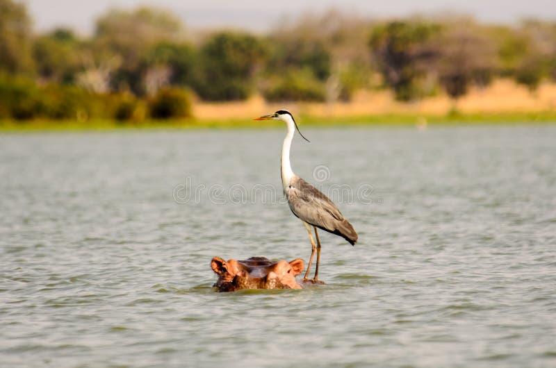 Grey Heron que engata um passeio imagem de stock