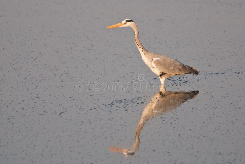 Grey Heron Reflection lizenzfreie stockfotografie