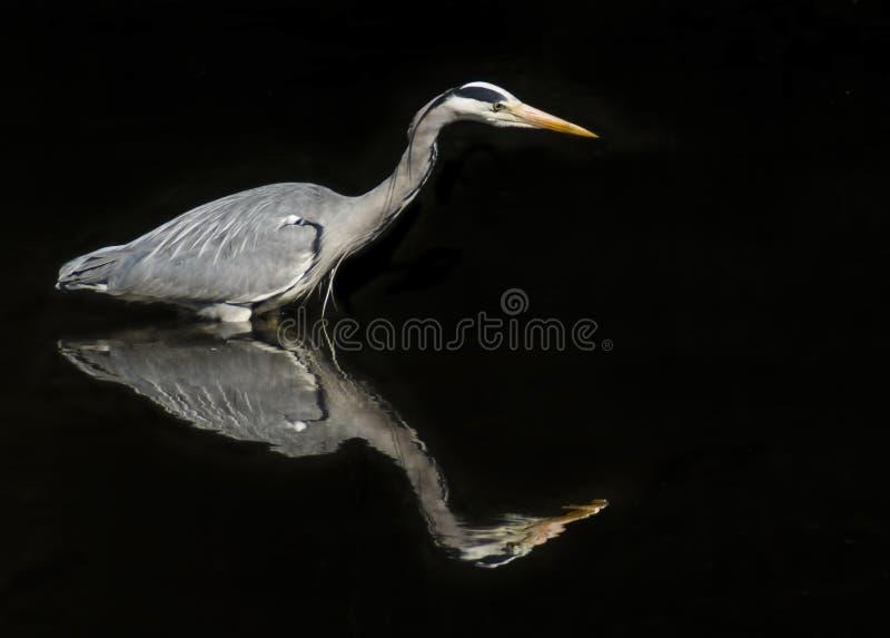 Grey Heron Reflection fotos de archivo libres de regalías