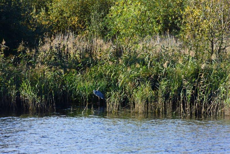 Grey Heron, River Yare, Strumpshaw Fen, Norfolk, England. Grey Heron camouflaged in reeds on River Yare, RSPB Nature Reserve at Strumpshaw Fen, Norfolk Broads royalty free stock image