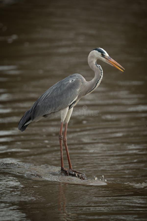 Grey heron on rock fishing in river royalty free stock photos