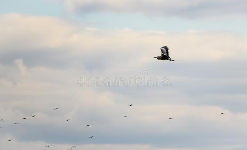 Grey heron in flight and seagulls. White large bird in the sky above the lake. Heron with open wings. Grey heron and seagulls in flight. White large bird in the royalty free stock photos