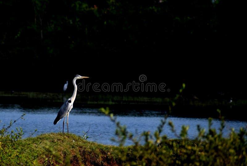 Grey heron standing alone royalty free stock photo