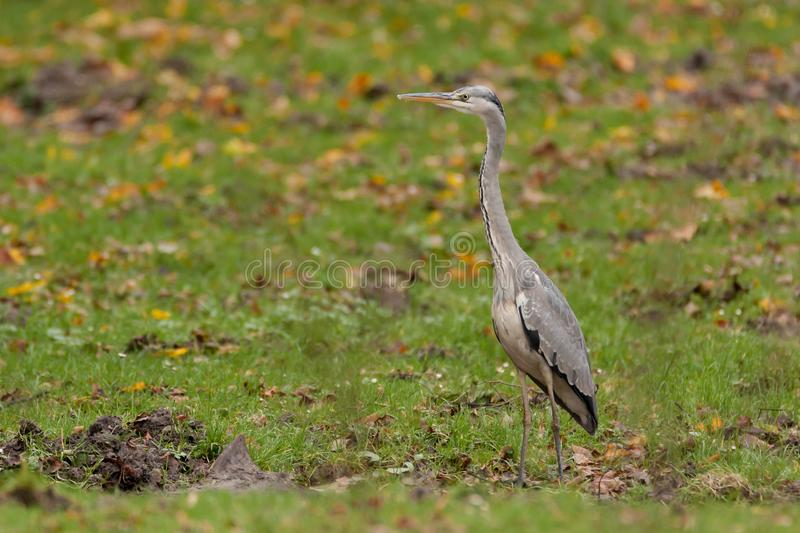 Grey heron is standing on the grass stock photography