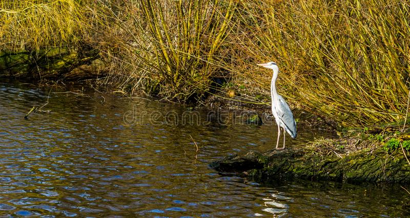 Grey heron standing at the water side hunting for food, common bird in the Netherlands stock photos