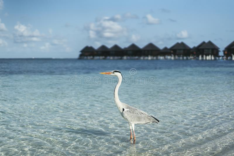 Grey heron standing on white beach on turquoise water in Maldives island royalty free stock photos