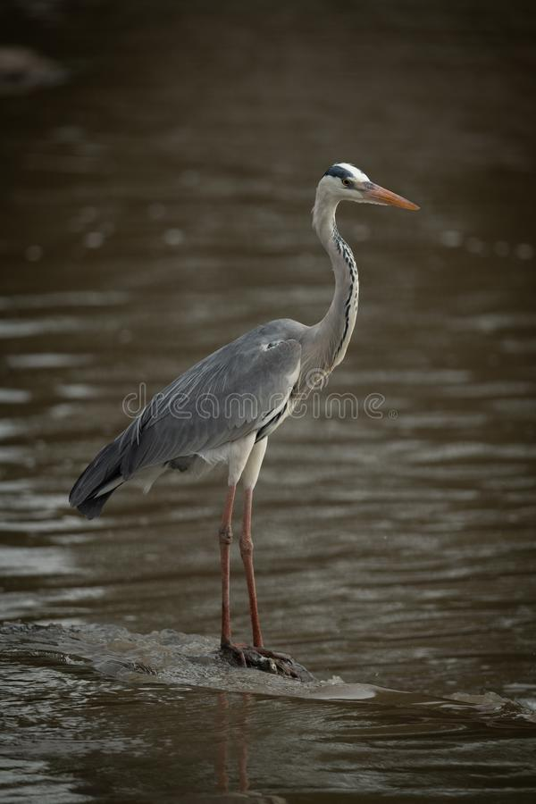 Grey heron stands on rock in river stock photography