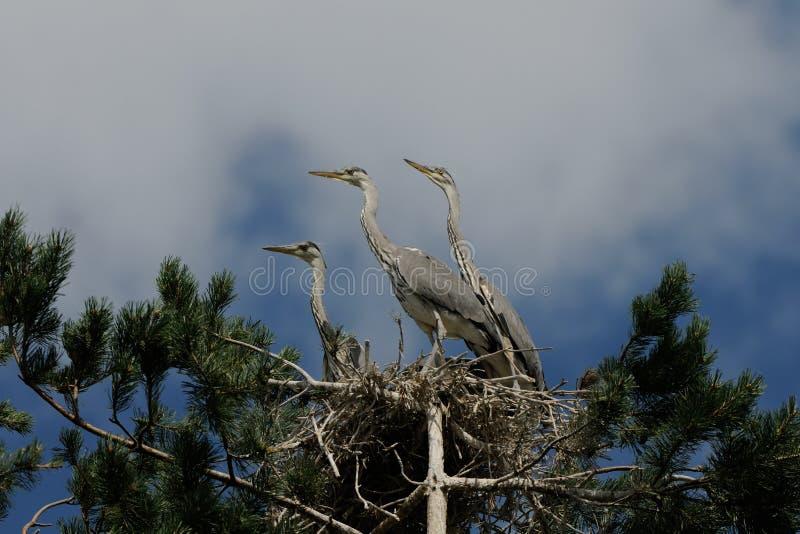 Grey Heron stora fågelungar i redet arkivfoto