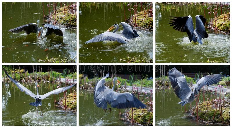 The Grey Heron Successfully Cought A Fish