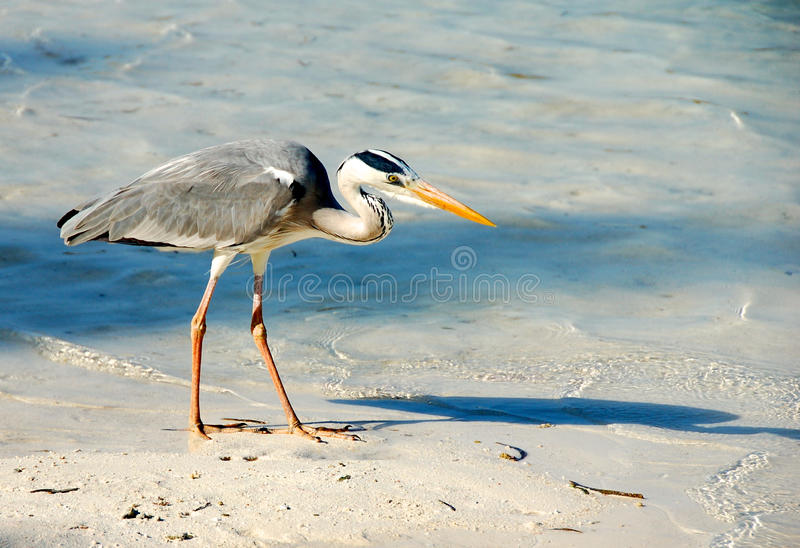 Grey Heron sur la plage en Maldives photo libre de droits