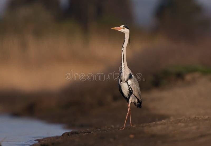 Grey Heron sur un lac photographie stock