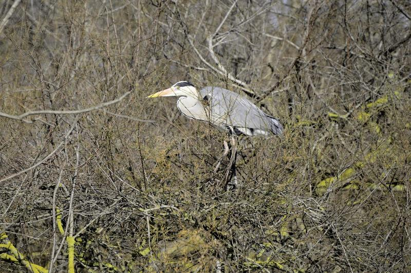 Grey Heron In The Swamp Stock Photos