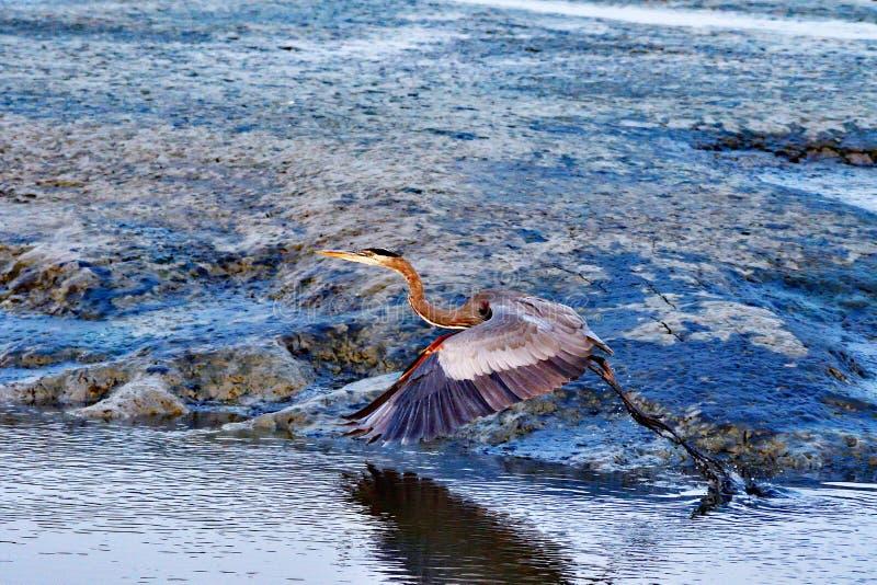 Grey Heron Taking Off imagens de stock