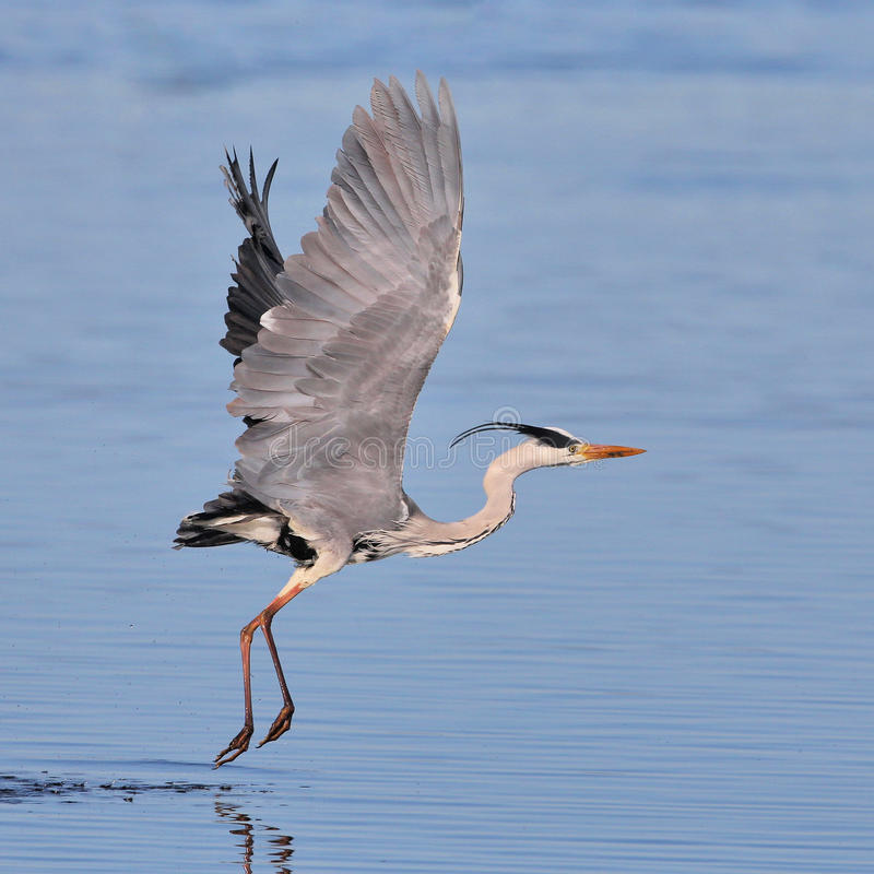 Download Grey Heron Taking Off Over Water Stock Image - Image: 25981221