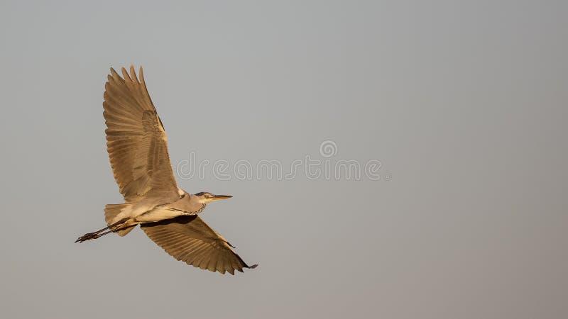 Grey Heron tijdens de vlucht in Dull Weather stock foto