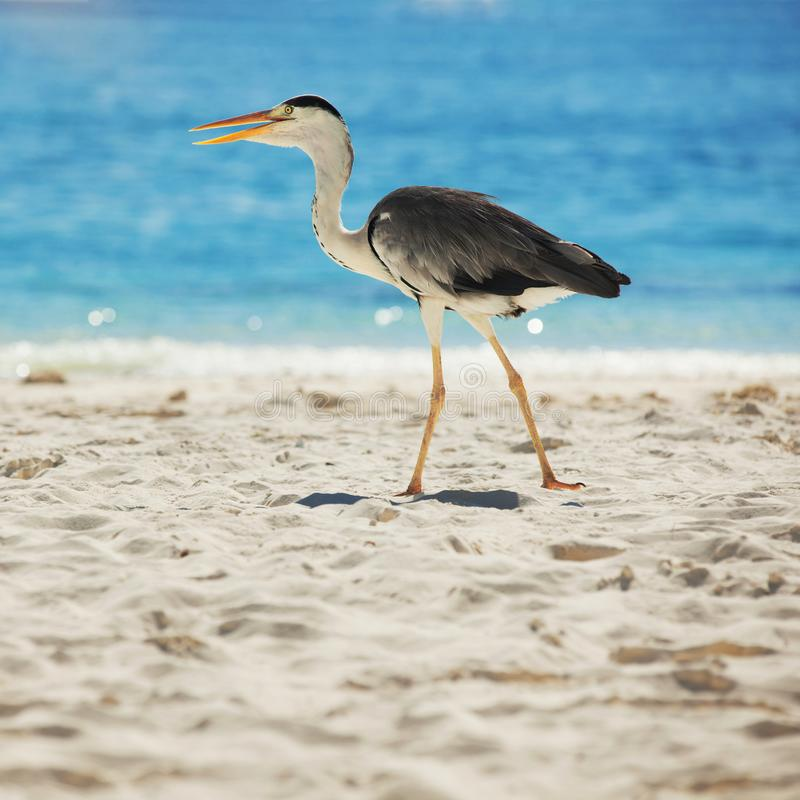 Grey Heron on the tropical beach. White sand and blue sea. Grey Heron on the tropical beach. White sand and crystal-blue sea. Ocean water nature, beach relax stock images