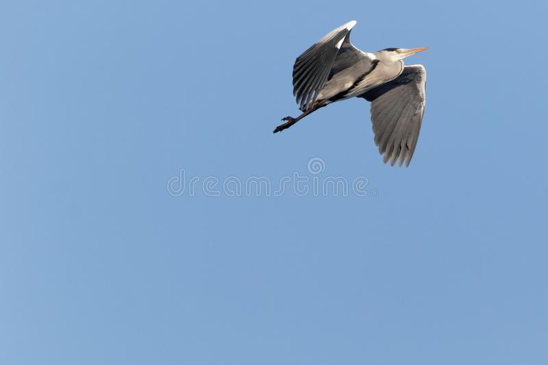 Grey Heron flying on blue sky Ukraine 2018 stock photos