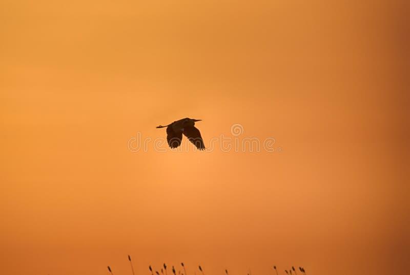 Grey Heron-vliegen tegen de zonsonderganghemel royalty-vrije stock foto