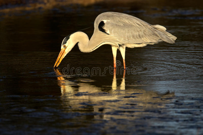 Download Grey heron in water stock photo. Image of african, feathered - 18756120