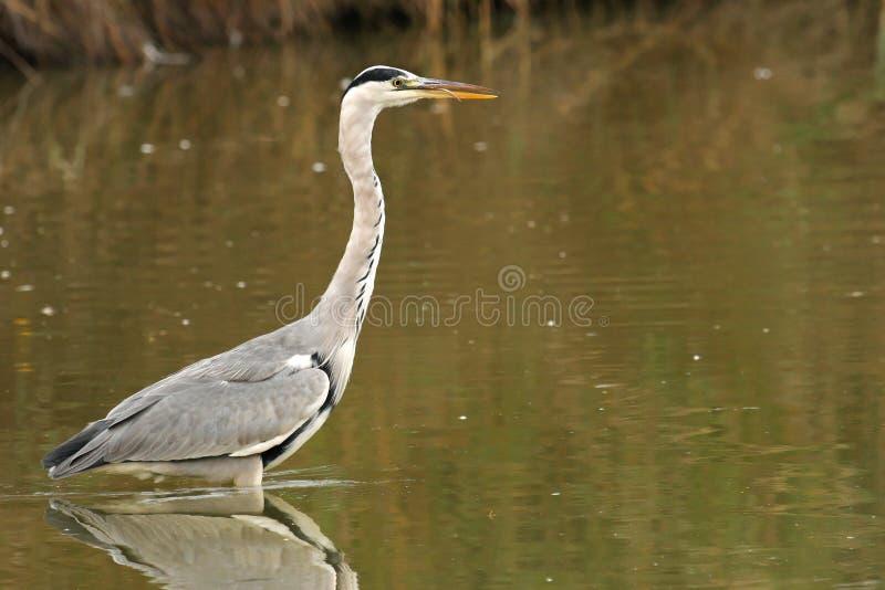 Grey Heron In Water Stock Photos
