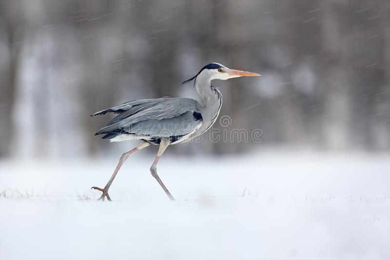 Grey Heron in white snow wind during cold winter. Wildlife scene from Poland nature. Snow storm with bird. Heron with snow in the. Nature habitat. Cold snowy royalty free stock photo