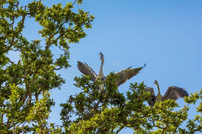 Grey Herons Ardea cinerea foto de archivo libre de regalías