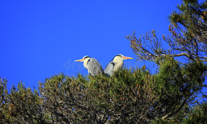 Grey herons, ardea cinerea, in a tree, Camargue, France royalty free stock image