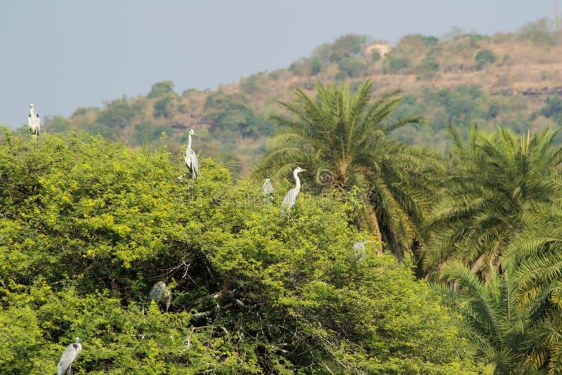 Grey Herons en árbol fotografía de archivo libre de regalías
