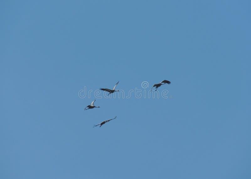 Grey Herons In Flight fotos de archivo