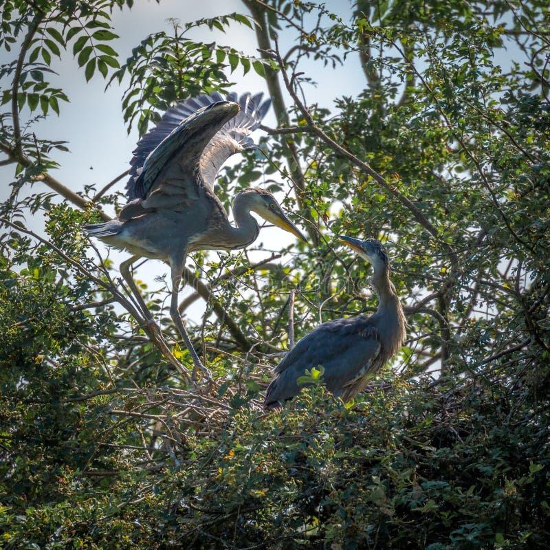 Grey Herons, jerarquizando foto de archivo libre de regalías