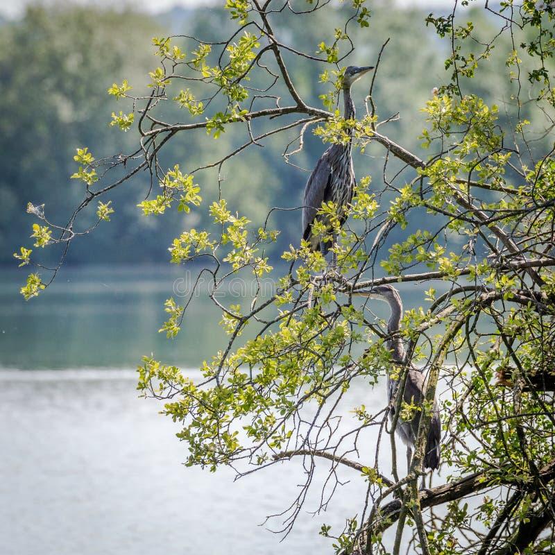 Grey Herons, jerarquizando imagen de archivo