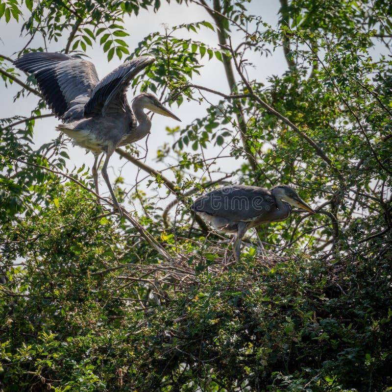 Grey Herons, jerarquizando fotografía de archivo