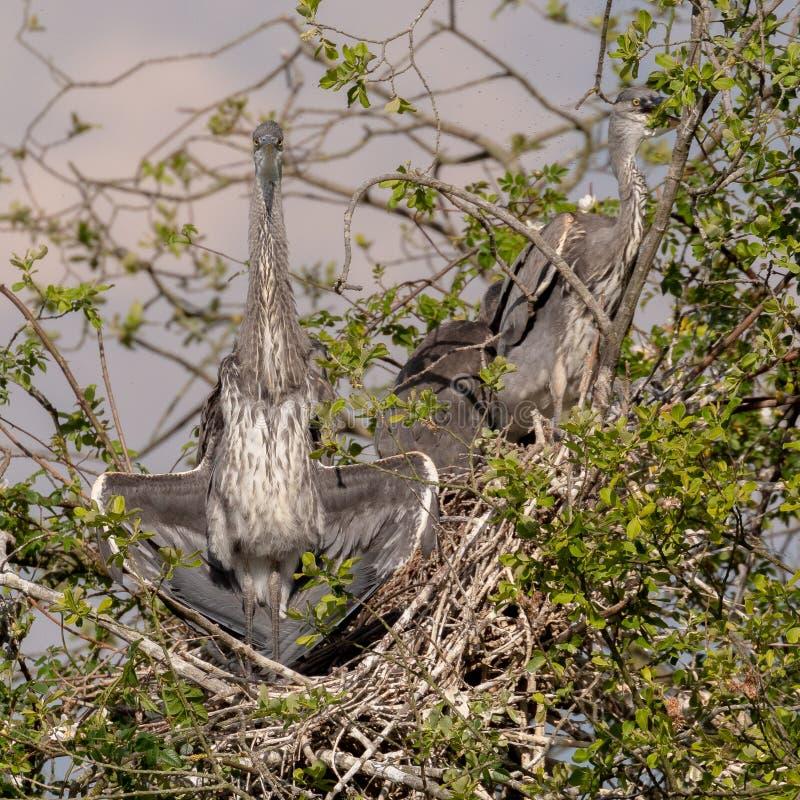 Grey Herons, jerarquizando fotos de archivo libres de regalías