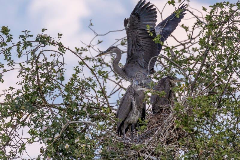 Grey Herons, jerarquizando fotografía de archivo libre de regalías