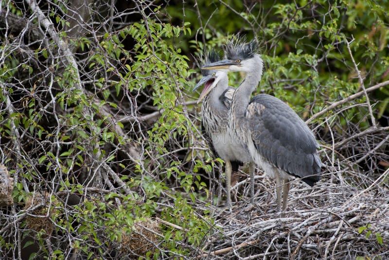 Grey Herons juvenil en jerarquía imagen de archivo libre de regalías
