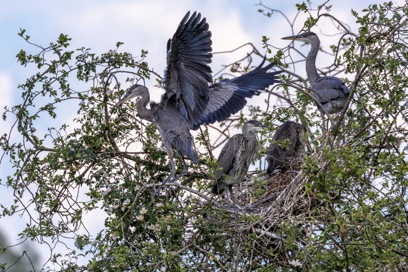 Grey Herons, nistend stockfotos