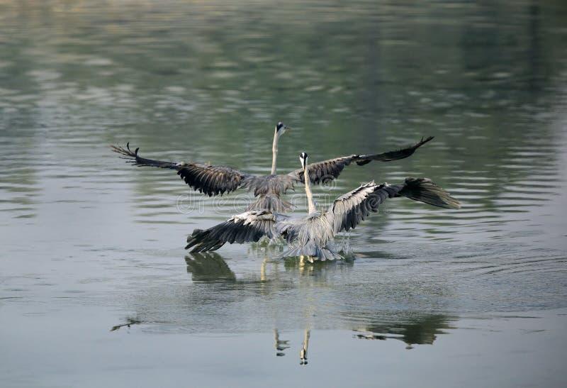 Grey Herons que pelea para el territorio foto de archivo