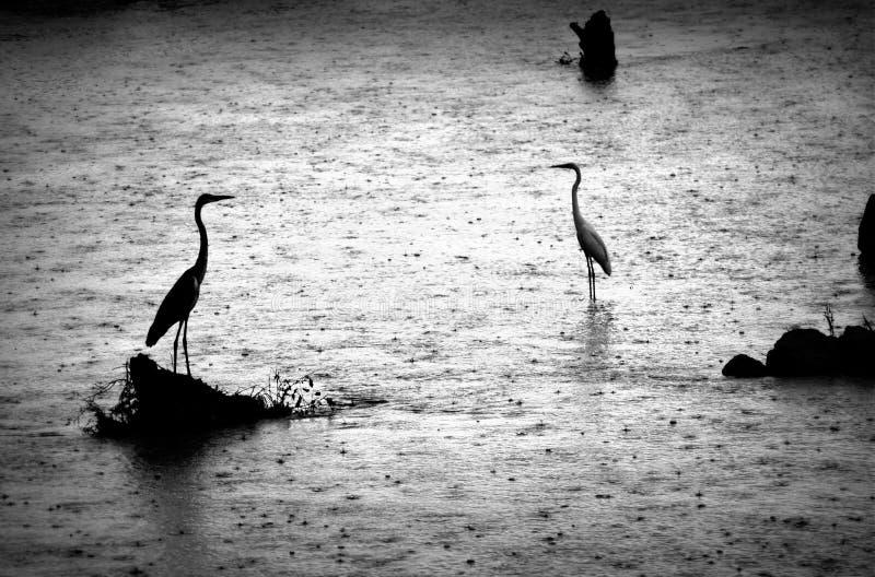Grey Herons Standing Tall en la lluvia en un río en Uda Wallawe National Park, Sri Lanka foto de archivo libre de regalías