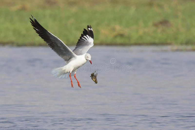 Grey Hooded Gull Dropping Fish royalty-vrije stock afbeelding