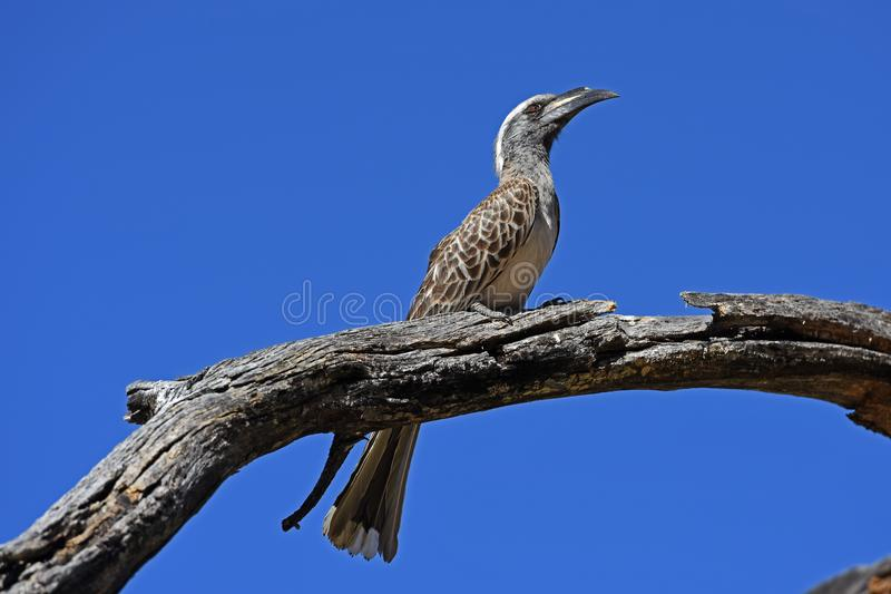 Grey hornbill Tockus nasutus. This grey hornbill was found in the Waterberg Biosphere. The grey hornbill belongs to the family of the hornbills Bucerotidae stock image