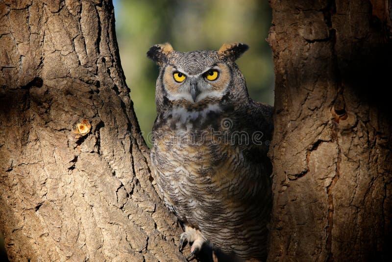 Grey Horned Owl no parque de Colorado imagem de stock