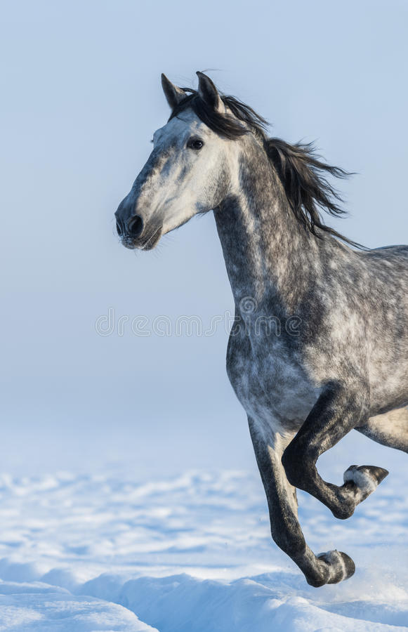 Grey horse - close up portrait in motion royalty free stock photography