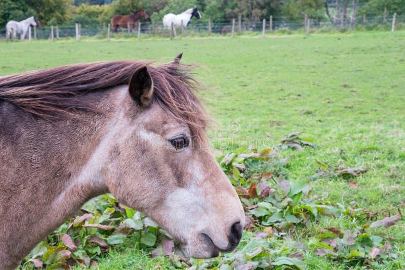 Grey Horse delicado em um campo no lado da estrada com os olhos muito tristes foto de stock