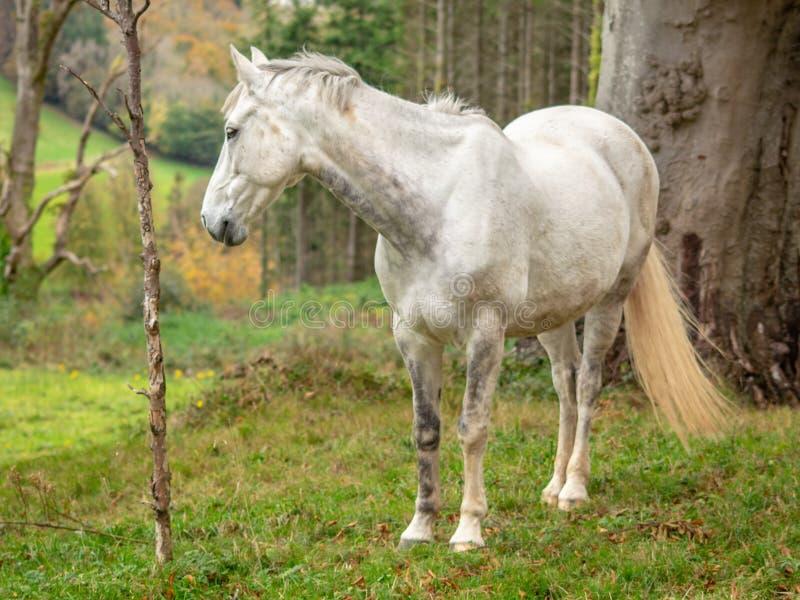 Grey Horse en un campo con los árboles fotografía de archivo libre de regalías
