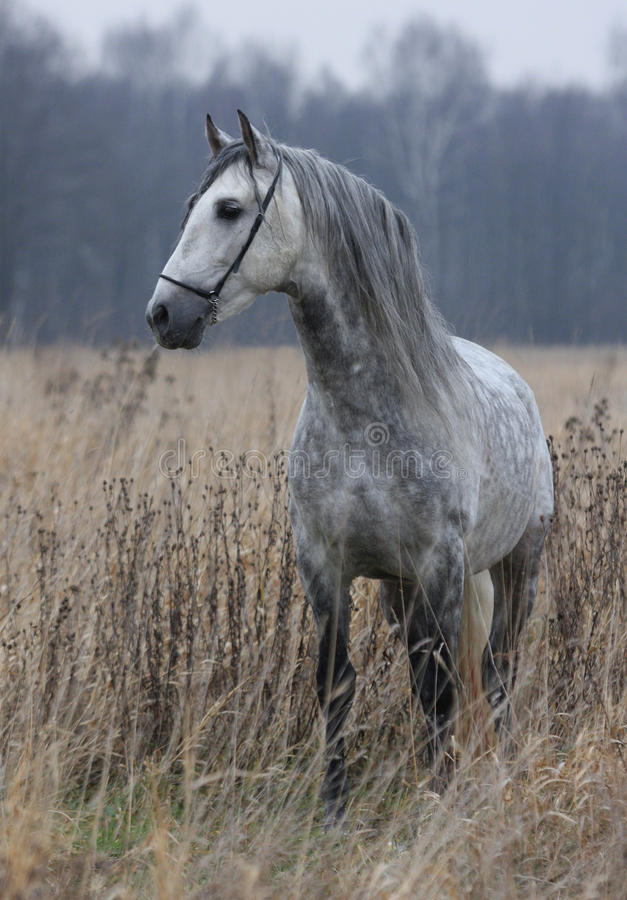 Grey Horse On Field Royalty Free Stock Image